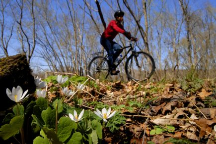 Bloodroot along the Hockhocking Adena Bikeway. Photo by Mary Reed.