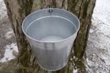 A bucket hangs on a spile and collects sap from this sugar maple. Photos by Attila Horvath.