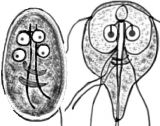 Giardia lamblia. Photo from Centers for Disease Control and Prevention.